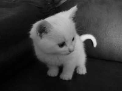 Chaton blanc - Chat tout mignon ...